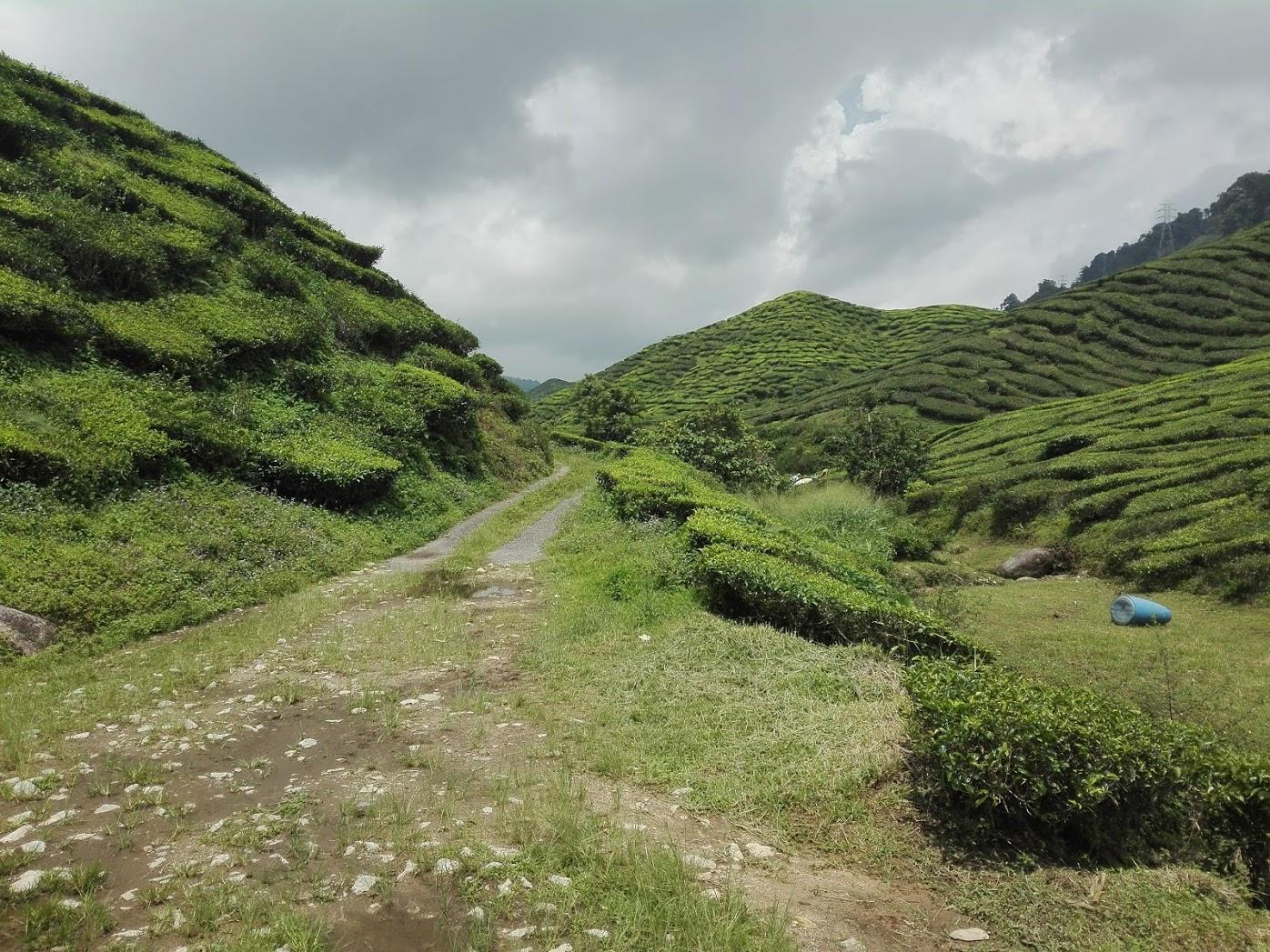 wzgórza herbaciane Malezja
