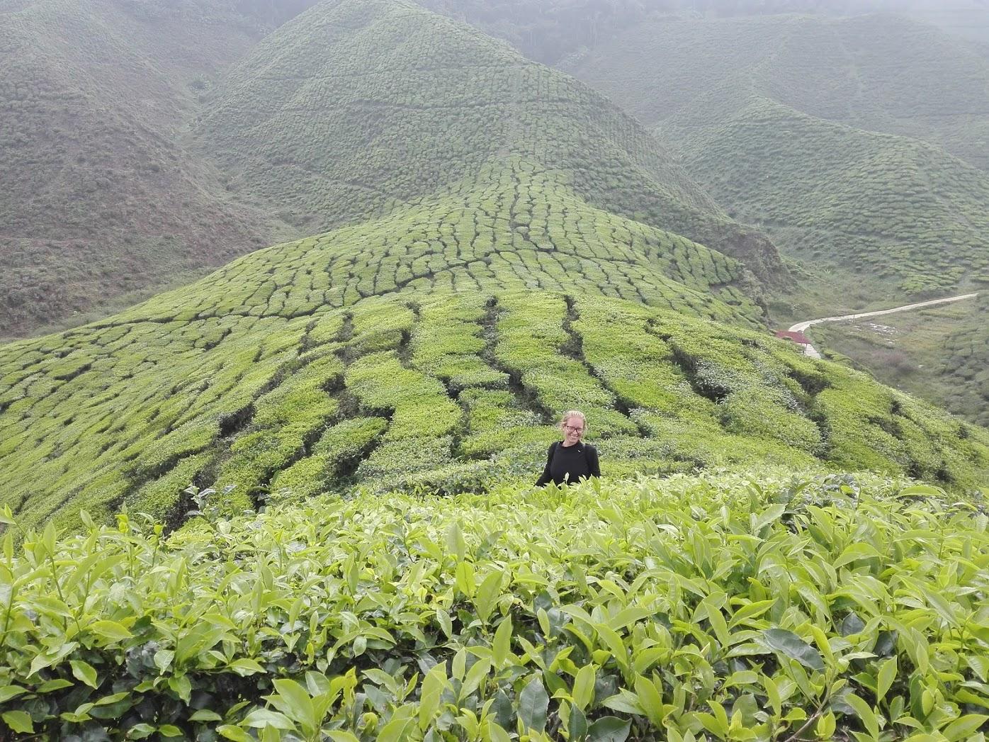 ja w polach herbaty