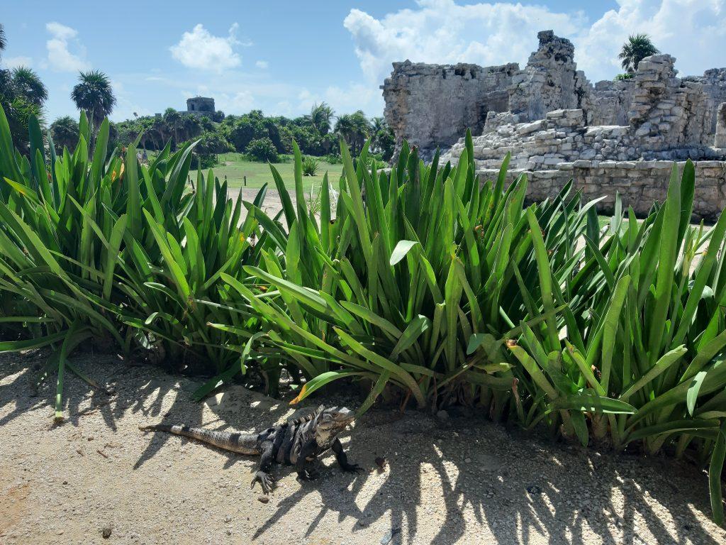 Tulum, iguana, ruiny pałacu, Jukatan, Meksyk, Mexico