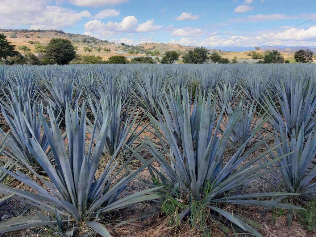 agave, Tequila, Jalisco, Meksyk, Mexico