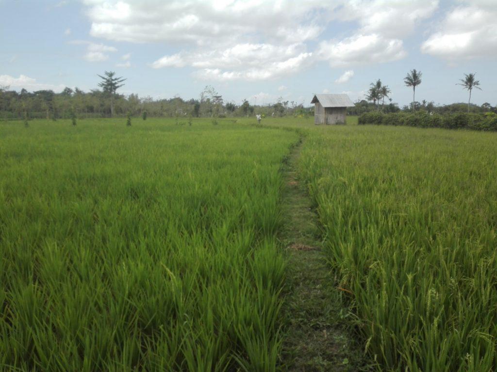 Lombok Indonezja pola ryżowe